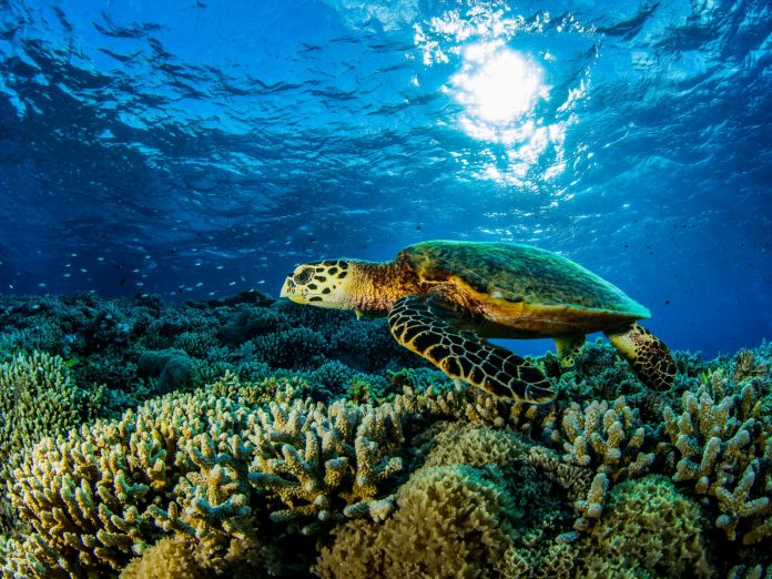 Underwater close up of a sea turle swimming along coral reef during South Maui diving adventure