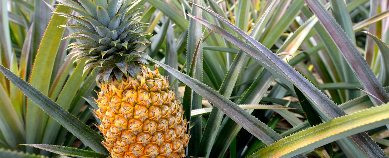 close up of a pineapple in the middle of a Maui pineapple farm