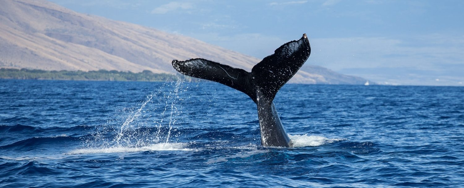 humpback whale tail seen during whale watching season in maui