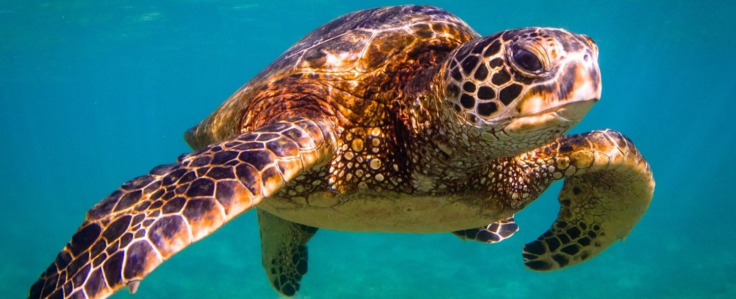 A Hawaiian Green sea turtle that you can see when you swim with turtles in Maui!