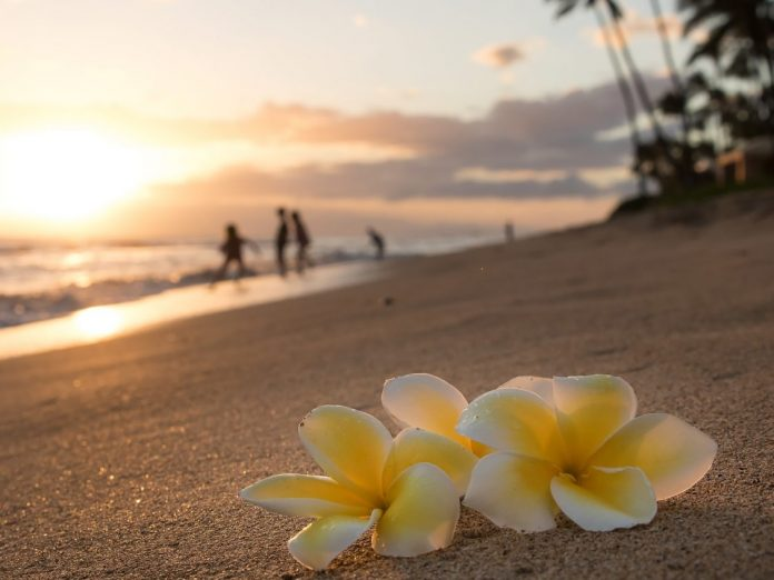 Plumeria flowers on the shore on sunset beach during golden sunlight and people running on background, Maui | Where to find the best Loco Moco in Maui