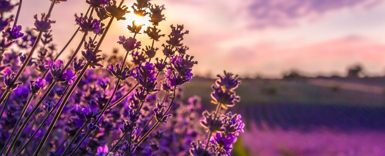 Maui's Lavender Farm Field
